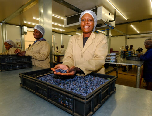 Lauetta Farm, Zimbabwe reports successful first blueberry export